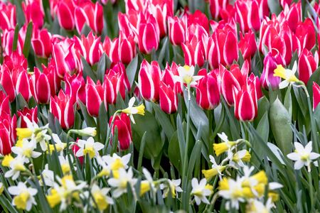 Red and white greigii tulips plaisir with yellow daffodils