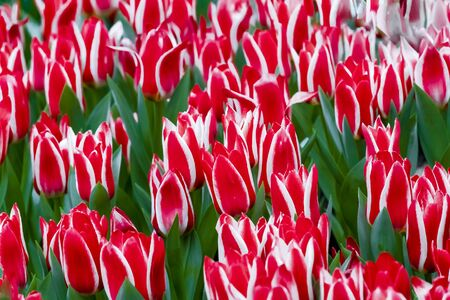 Red and white greigii tulips plaisir