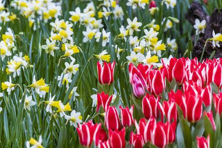 White red Triumph Tulip Leen van der Mark with yellow daffodils