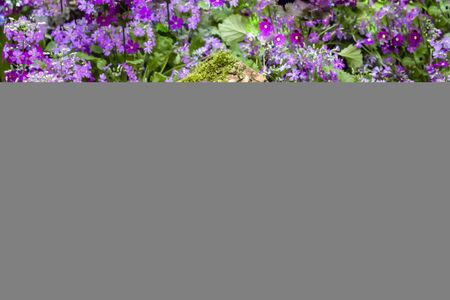 Purple and white lilac primroses with a moss-covered log