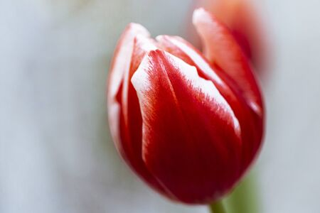 Close-up of a red and white greigii tulip plaisir
