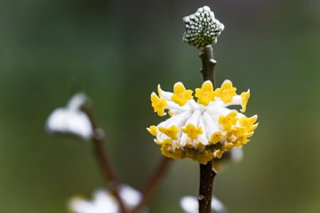 Japanese paper bush Edgeworthia chrysantha Фото со стока