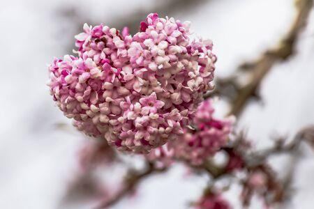 Winter snowball - Bodnant viburnum Фото со стока