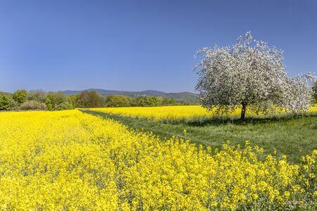 Feldbergblick in Wiesbaden Naurod with a flowering rape field and a flowering apple tree