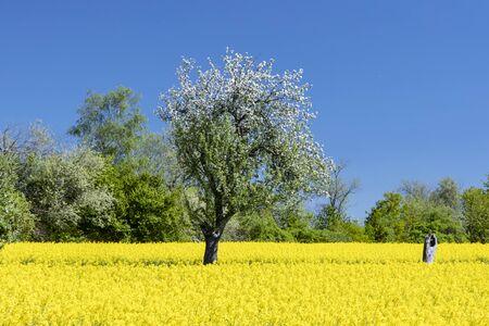 Flowering rape field with blossoming apple trees in Wiesbaden Naurod