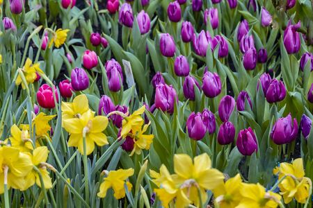 Violet tulips with yellow daffodils