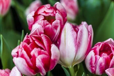 Double flowering early tulip peach blossom Фото со стока