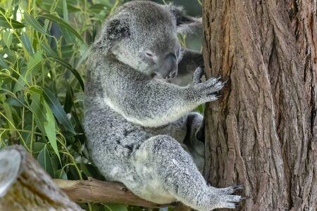 Australian koala bear in an eucalyptus tree in Queensland