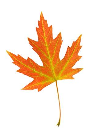 acer: Orange leaf of Silver maple on white background. Acer saccharinum.