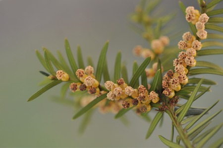 d cor: Twig of yew with male flowers. Taxus-baccata Stock Photo