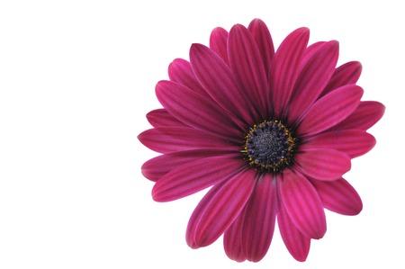 vinous: Vinous Osteospermum flower. Stock Photo