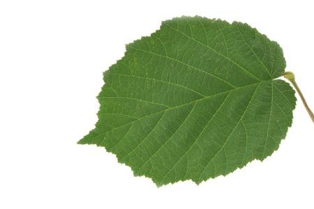 albero nocciola: Foglia dell'albero Hazel. Primo piano su foglia white.Green del Nocciolo. Isolato su sfondo bianco