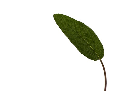 photos of pattern: One single leaf sage isolated on a white background. Leaf of sage.