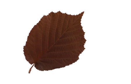 filbert: Leaf of purple giant filbert. Macro Leaf of purple giant filbert on white background. Stock Photo