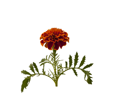 patula: Marigold flower. Marigold flower on white background.