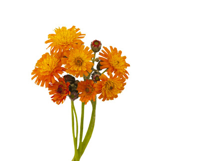 hawkweed: Flowers of orange hawkweed. Flowers of orange hawkweed  on white background. Stock Photo