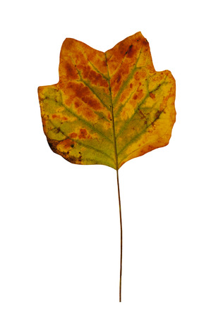 stock photo   tulip: Autumn colorful leaf of tulip tree. Autumn colorful leaf of tulip tree isolated on a white background.