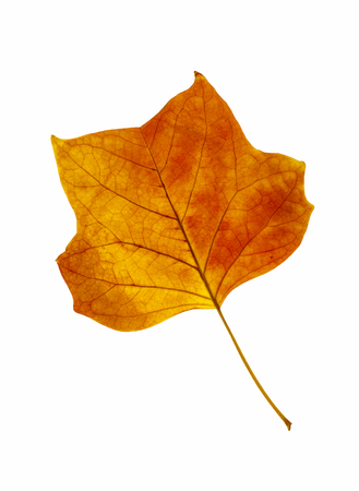 stock photo   tulip: Orange leaf of tulip tree. Orange leaf of tulip tree isolated on a white background