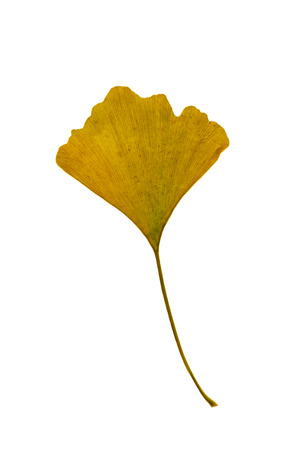 Yellow leaf of Ginkgo bilbao trees isolated on a white background.