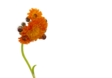hawkweed: Orange hawkweed, Pilosella aurantiaca. Orange hawkweed isolated on a white background