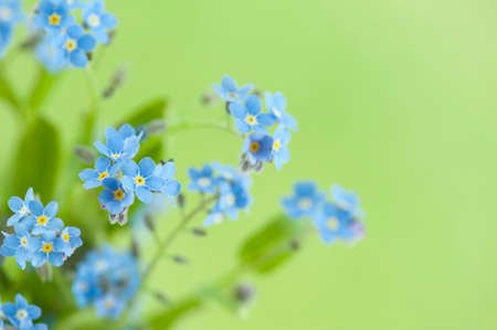 Forget me nots. Spring small flowers. Myosotis scorpioides Forget-me-nots on green blurred background. Macro