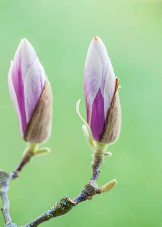 Bloom twig of magnolia on green blurred background. Macro
