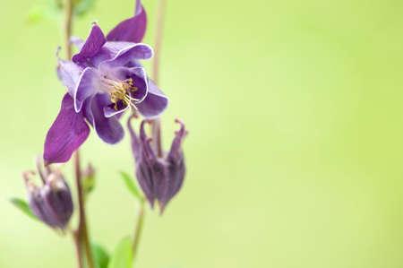 The Columbine flower Aquilegia. Violet columbine (aquilegia) blossom on green blurred background.