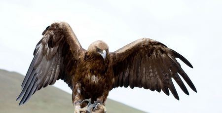 captivity: golden eagle with spread wings in captivity