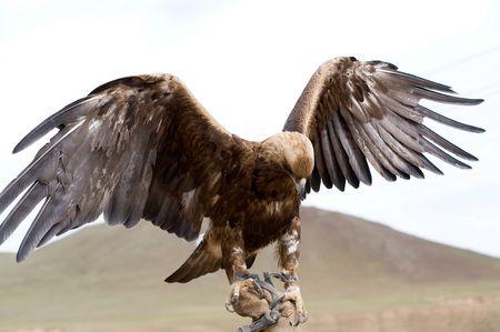 aigle royal: Aigle royal avec la propagation des ailes de part Banque d'images