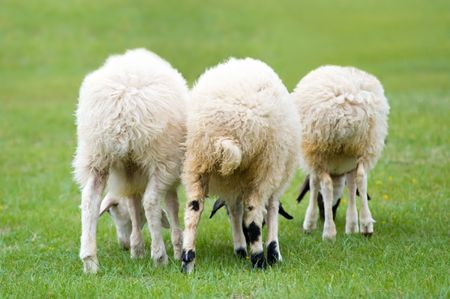 livestock sector: three white grazing lambs from back view