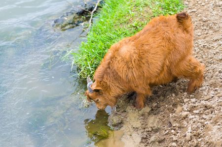 livestock sector: red goatling drinking water from a river