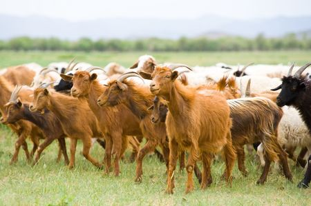 livestock sector: flock of goats moving at green pasture Stock Photo