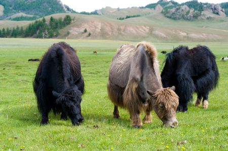 livestock sector: black and brown yaks grazing at pasture