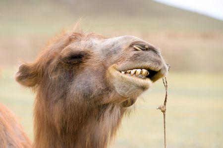 bared teeth: Mongolian Bactrian camels head with bared teeth