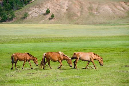 livestock sector: three pacing horses grazing at green pasture