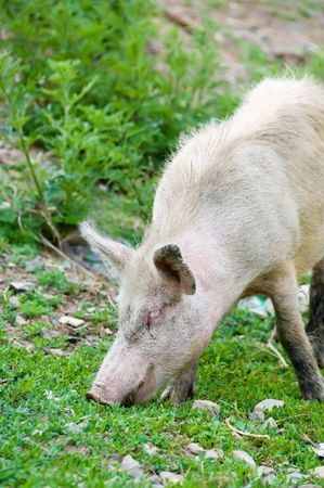 livestock sector: dirty young pig grazing in green ravine