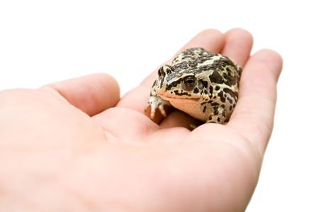 blotched: little frog in hand against white background