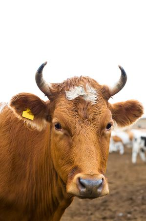 livestock sector: muzzle of red cow looking into camera