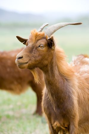 livestock sector: red goat at green pasture in steppe
