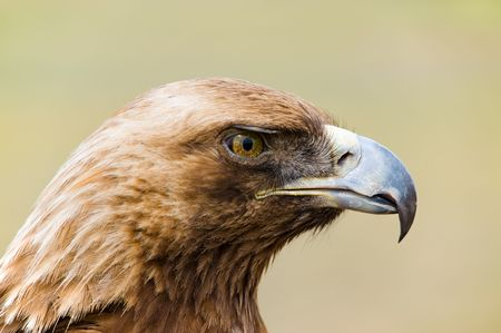head of a wild golden eagle in close up photo