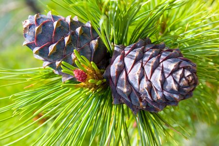 two cones at a green branch of Siberian cedar