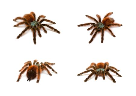 arachnida: Bird spider at four different angles of view in a set on white background Stock Photo
