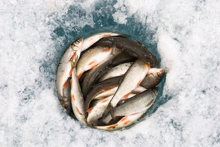 rutilus: catch of fresh fish in an ice hole Stock Photo