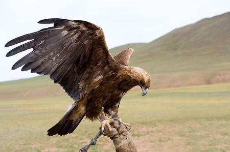 aigle royal: Aigle cha�n�e avec des ailes de propagation sur la manchette Banque d'images
