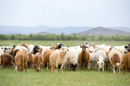 livestock sector: flock of goats and sheep grazing at green pasture Stock Photo