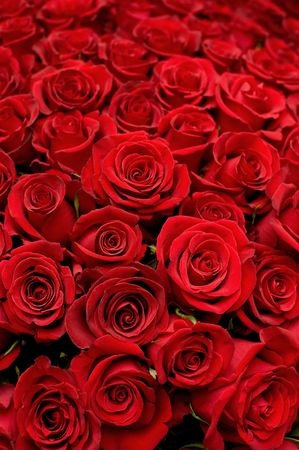 expanded: many red roses shot in shallow DOF