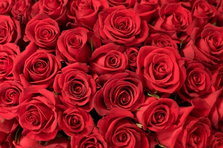 depth of field: many red roses shot in shallow DOF