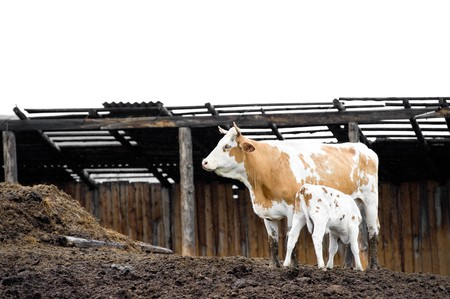 livestock sector: a calf suckles milk from a cow at a stockyard