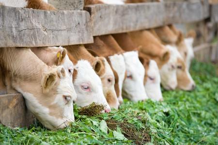 una línea de terneros de granja comer forraje verde hierba Foto de archivo - 7059673
