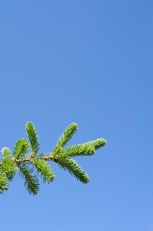 vetical: una rama de abeto verde contra el cielo azul  Foto de archivo